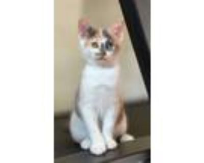 Adopt Lilly a Domestic Short Hair, Dilute Calico