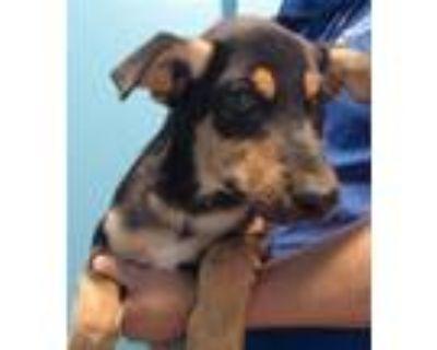 Adopt A575849 a Siberian Husky, Doberman Pinscher
