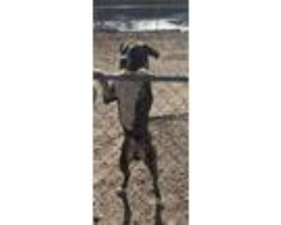 Adopt Elvis a Black - with Tan, Yellow or Fawn Boxer / American Pit Bull Terrier