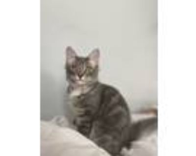 Adopt Ash a Gray, Blue or Silver Tabby Manx / Mixed (short coat) cat in