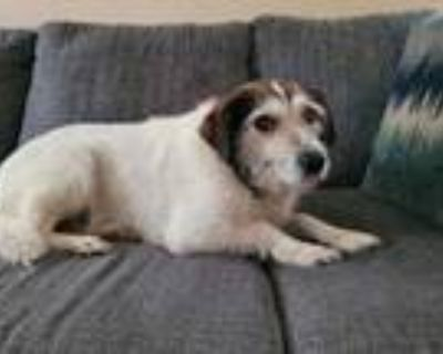 Adopt Lita a White Terrier (Unknown Type, Small) / Mixed dog in West Allis