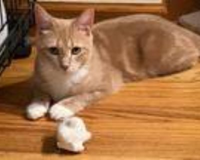 Adopt Takoda a Domestic Shorthair / Mixed (short coat) cat in Hampton