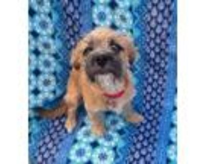 Adopt Buddy Jones a Pug, Terrier