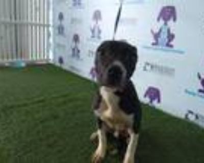 Adopt TRAP a Pit Bull Terrier, Mixed Breed