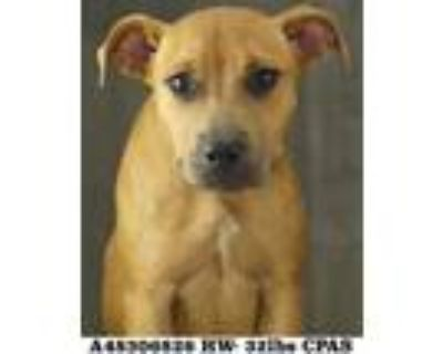Adopt Popcorn a Brown/Chocolate American Pit Bull Terrier / Mixed dog in