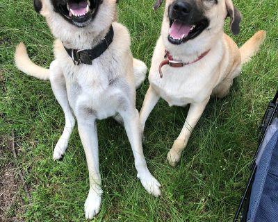 Sweet Magnolia's Anatolian Shepherd Dog Puppies