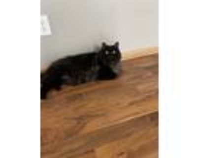 Adopt Theo a Black (Mostly) Domestic Longhair / Mixed (long coat) cat in Hudson
