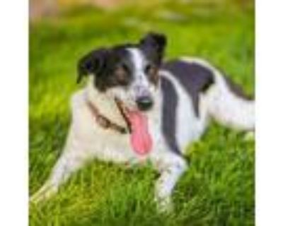 Adopt Lily (incredibly sweet & playful!) a Border Collie, Coonhound