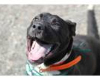 Adopt Benjamin a Black - with White American Staffordshire Terrier / German