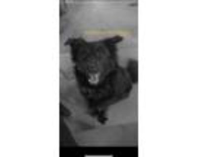 Adopt Cooper a Black Labrador Retriever / Chow Chow / Mixed dog in Havelock