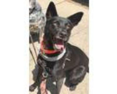 Adopt Poppy a Black Labrador Retriever / Mixed dog in Castro Valley