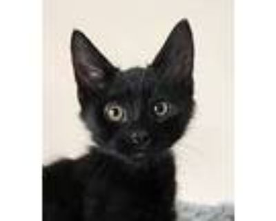 Adopt Cash a All Black Domestic Shorthair / Mixed cat in Palatine, IL (32005293)