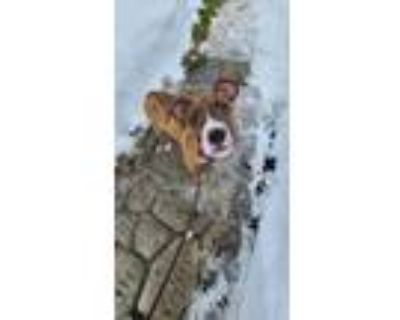 Adopt Salem a Brown/Chocolate - with White American Staffordshire Terrier /