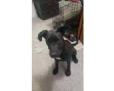 Adopt Unknown we call her Kennedy a Black - with White Labrador Retriever /