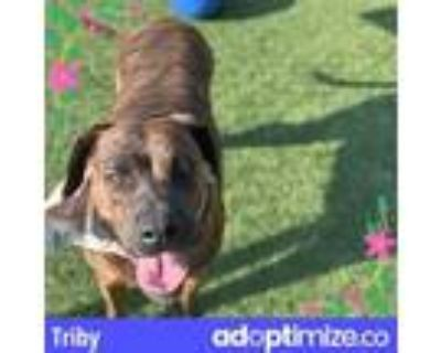 Adopt TRIBY a German Shorthaired Pointer, Mixed Breed