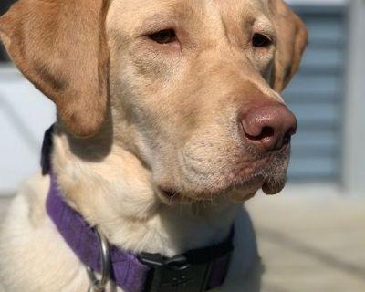 Gorgeous Chocolate Labrador Retriever Puppies - Ready 8/6 (American)