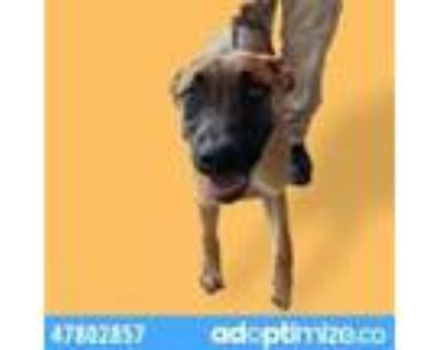 Adopt Captain a Brown/Chocolate Belgian Malinois / Mixed dog in El Paso