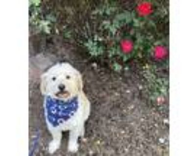 Adopt Tyler a Terrier, Poodle