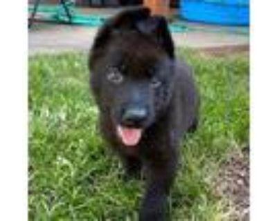 Adopt Jake a German Shepherd Dog