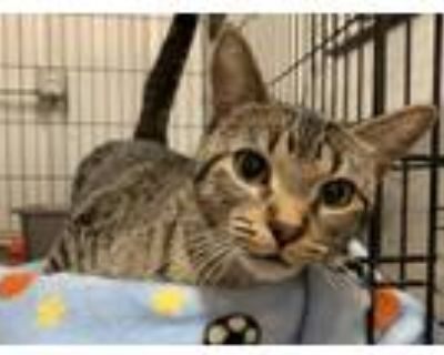 Adopt Luna a Brown Tabby Domestic Shorthair / Mixed (short coat) cat in