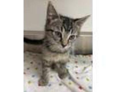 Adopt 655004 a Tan or Fawn Domestic Shorthair / Domestic Shorthair / Mixed cat