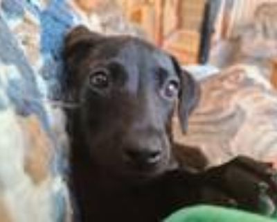 Adopt Aloe vera a Black Labrador Retriever dog in Merrifield, VA (31562461)