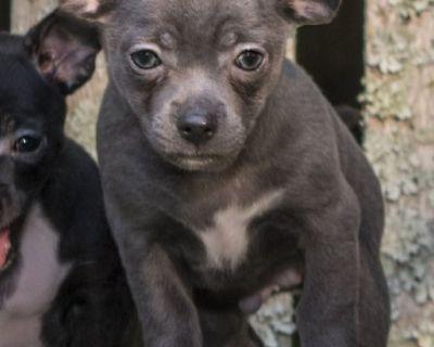 CKC Blue Male Chihuahua