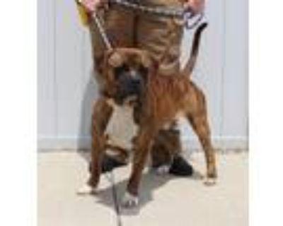 Adopt GINGER SALAD a Mastiff, Mixed Breed