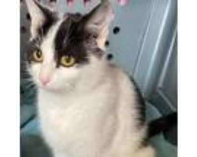 Adopt Millie a White Domestic Shorthair / Mixed cat in Winchester, VA (30107266)