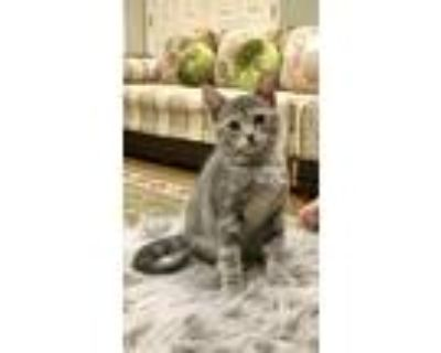 Adopt Lily a Gray, Blue or Silver Tabby American Shorthair cat in Glen Allen