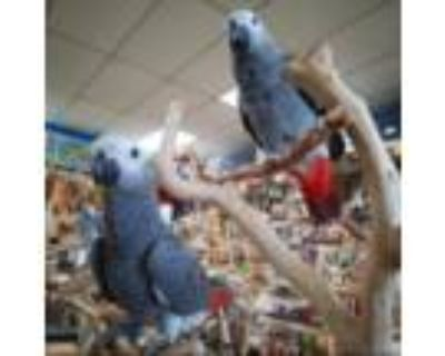 Hand Raised African Grey Parrot Information
