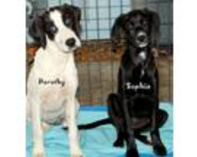 Adopt Dorothy a White - with Black Boxer / Hound (Unknown Type) / Mixed dog in