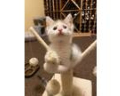 Adopt Hank a White (Mostly) American Shorthair (short coat) cat in Reston