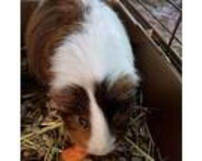 Allister, Guinea Pig For Adoption In Shawnee, Kansas