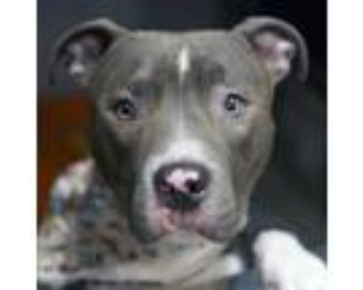 Adopt Kaizer a Gray/Blue/Silver/Salt & Pepper American Pit Bull Terrier / Mixed