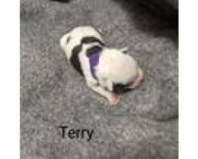 Adopt Terry Tibby May a Catahoula Leopard Dog