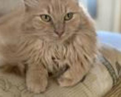 Adopt Chloe a Tan or Fawn Tabby Domestic Mediumhair / Mixed (medium coat) cat in