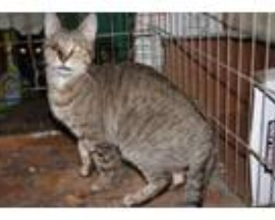 Adopt WINKY a Abyssinian, Domestic Short Hair