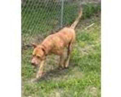 Adopt Keifer (kee-fer) a Terrier