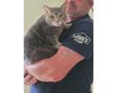 Adopt smoky a Gray, Blue or Silver Tabby American Shorthair / Mixed (short coat)