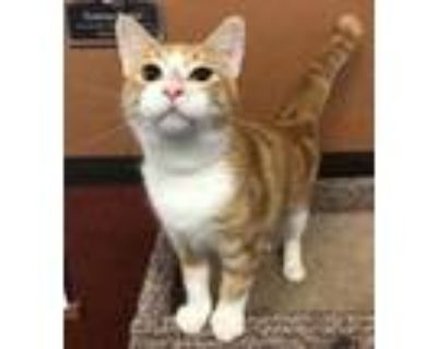 Adopt Jesse a Orange or Red Domestic Shorthair / Domestic Shorthair / Mixed cat