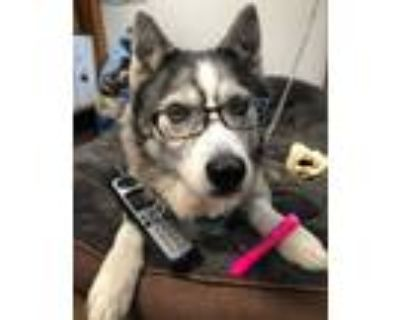 Adopt Meli a Gray/Silver/Salt & Pepper - with Black Husky / Mixed dog in Chico