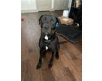 Adopt Nova a Black Labrador Retriever / Mixed dog in Euless, TX (32112718)