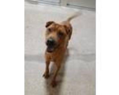 Adopt Rocky a Red/Golden/Orange/Chestnut Shar Pei / Labrador Retriever / Mixed