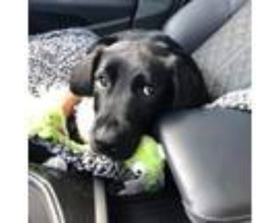 Adopt Skully a Black Border Collie / Rottweiler / Mixed dog in St.