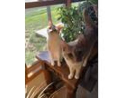 Adopt Snickers a Orange or Red Tabby Domestic Shorthair (short coat) cat in