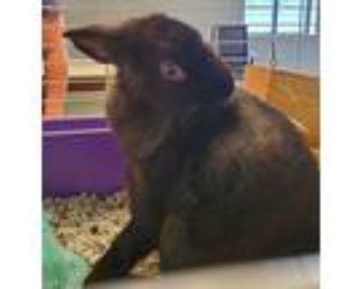 Adopt Gideon a Polish / Mixed rabbit in Houston, TX (31607735)