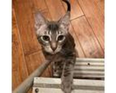 Wednesday, Domestic Shorthair For Adoption In Long Beach, California