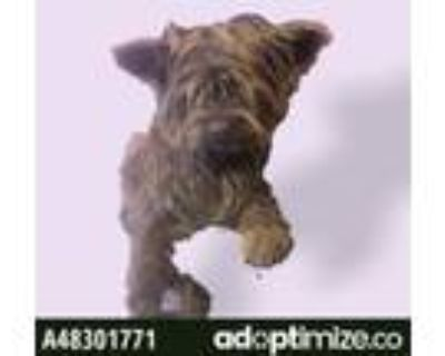 Adopt 48301771 a Yorkshire Terrier, Mixed Breed