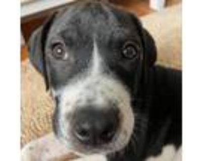 Adopt Draco a Border Collie, Pit Bull Terrier